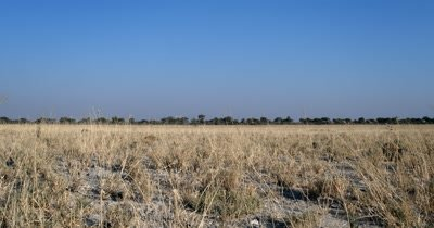 Meerkat or suricate, Suricata suricatta searching for food