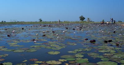 A Mocoro boat trip in a field of Water lilies,Nymphaeaceae on the waters of the Okavango Delta