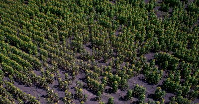 Aerial shot of the fields of ripening Broom-corn, Sorghum bicolor, that the Quelea birds eat and destroy