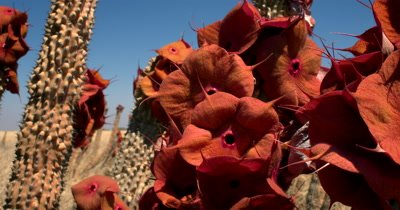 Close up of a Hoodia gordonii, also known as Bushman's hat or Kalahari cattus with its stunning red,orange flowers