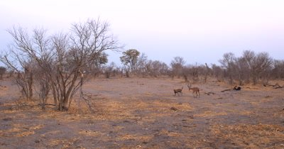 An African wild dog, African  hunt, hunting, predation, ing dog, or African painted dog, Lycaon pictus   hunt, hunting, predation, ing an Impala, Aepyceros melampus . Circling it and making the Impala tired, the male Impala uses its horns to scare the Wild dog off