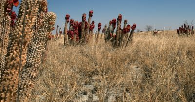 Reveal of a field of Hoodia gordonii, also known as Bushman's hat or Kalahari cattus with their stunning red,orange flowers