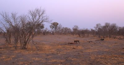 An African wild dog, African  hunt, hunting, predation, ing dog, or African painted dog, Lycaon pictus  tugging and eating its kill, an Impala, Aepyceros melampus .