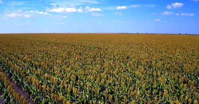 Aerial shot of the fields of ripening Broom-corn, Sorghum bicolor,
