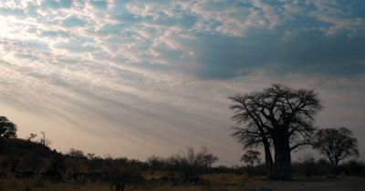 Sunset in Savute with beams of God rays and puffy clouds and a silhouette of a Baobab tree