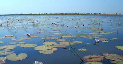 A tilt shot of a field of Water lilies,Nymphaeaceae on the waters of the Okavango Delta