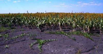 Aerial pan shot of the large fields of ripening Broom-corn, Sorghum bicolor,