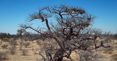 Aerial shot from a White-backed vulture, Gyps africanus's nest on a Baobab tree to the pan
