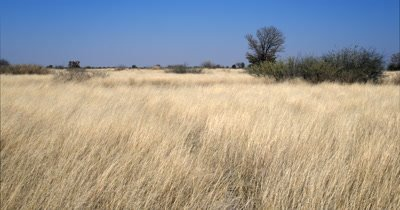 Pan across the lush grass land with the dry grasses blowing in the wind