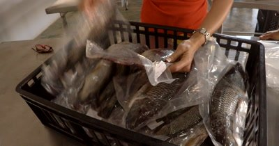 Chobe Bream,Oreochromis Andersonii, fish ready for sale