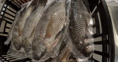 Chobe Bream,Oreochromis Andersonii fish ready for sale
