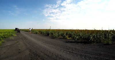 A falcon flies from its handler over the Sorghum  crop fields
