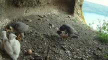 Peregrine Falcon Nest,The Male Parent Lands With A Prey And Wait His Turn While Female Is Feeding Two Ten Days Old Chicks,One Egg Undisclosed