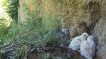 Kestrel, Female On Nest Taking Care Of Chicks
