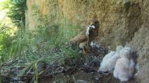 Kestrel Nest, Female Lands With Food For Chicks