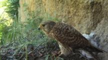 Kestrel Nest, Female Eating Prey