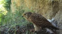 Kestrel Nest, Female Eating Prey