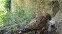 Kestrel Nest, Female Parent Feeding Chicks