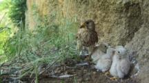 Kestrel Nest, Female Parent With Chicks