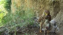 Kestrel Nest, Female Parent Taking A Little Bird For Chicks