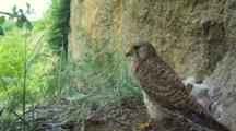 Kestrel Nest, Female Parent Take Off, Zoom On The Chicks