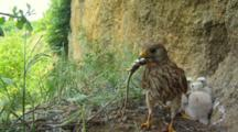 Kestrel Nest, Female Parent Lands SUDDENLY ON THE CHICKS With A Lizard For Food
