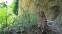 Kestrel Nest,Female Parent Take Off