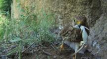 Kestrel Nest, Female Parent With A Lizard For Chicks