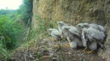 Kestrel Nest, hungry chicks waiting wor food, but the parents DON'T LAND