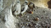 Peregrine Falcon Nest,STEREOSCOPIC 3D,The Male Parent Feeding Two 14 Days Old Chicks,One Egg Undisclosed