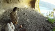 Peregrine Falcon Nest,STEREOSCOPIC 3D,Female Parent With Two 5 Days Old Chicks,One Egg Undisclosed