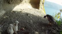Peregrine Falcon Nest,STEREOSCOPIC 3D,Parents Feeding 5 Days Old Chicks,One Undisclosed Egg