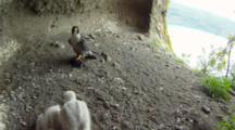 Peregrine Falcon Nest,STEREOSCOPIC 3D,Male Parent Lands With A Blackbird As Prey,5 Days Old Chicks,One Undisclosed Egg