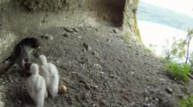 Peregrine Falcon Nest,STEREOSCOPIC 3D,Male Parent Feeding Chicks With A Blackbird,One Undisclosed Egg