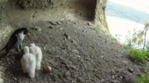 Peregrine Falcon Nest,STEREOSCOPIC 3D,the male feeding two 10 days old chicks with a blackbird,one egg undisclosed