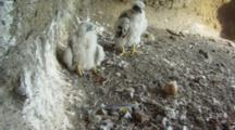 Peregrine Falcon Nest,STEREOSCOPIC 3D,Two 12 Days Old Chicks Waiting Parents,One Undisclosed Egg
