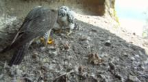 Peregrine Falcon Nest,STEREOSCOPIC 3D,Female Lands With Prey And Feed Two14 Days Old Chicks ,Feathers In The Wind Goes In Front Of Lens