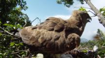 Short-Toed Eagle,STEREOSCOPIC 3D,Adult Female Protect The 10 Days Old Chick In The Nest,Wind