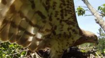 Short-Toed Eagle,STEREOSCOPIC 3D,Female In The Nest With A Western Whip Snake,Opening Wings Touching Camera Lens To Protect Her 7 Days Old Chick From The Sun
