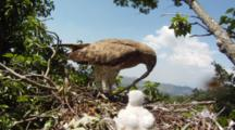 Short-Toed Eagle,STEREOSCOPIC 3D,The Male Lands In The Nest With A Western Whip Snake For The 7 Days Old Chick