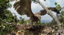 Short-Toed Eagle,STEREOSCOPIC 3D,55 Days Old Chick Doing Flight Test In The Nest