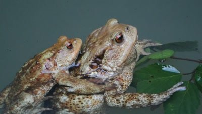 pair of european common toads,bufo bufo,mating in water