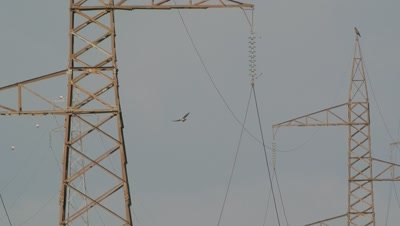 Short toed eagle,flying through power lines,one eagle stand on a trellis