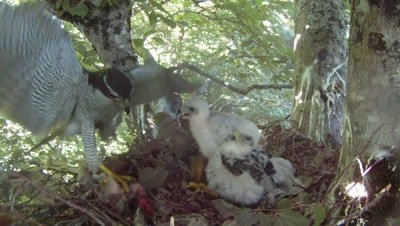 Goshawk,male parent lands on the nest with a prey,three chicks fighting for food