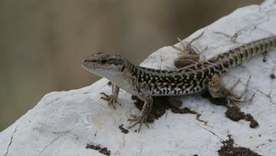 Italian lizard,adult male basking in the sun,just moving head and tail