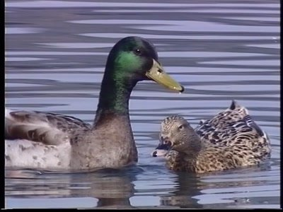 Mallard,wild ducks,couple courtship and mating,female almost drowns
