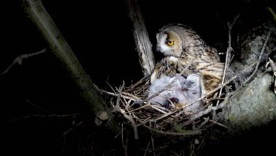 Long Eared Owl, female parent at night on the nest feeding four three-to-five days old chicks with a mouse