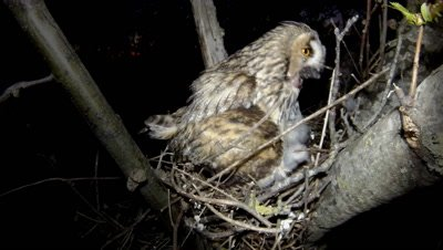 Long Eared Owl, a chick regurgitates indigest pellet that the female parent swallows