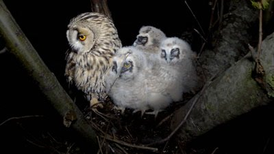 Long Eared Owl, female parent in the nest with four 10-14 days chicks, then gets off