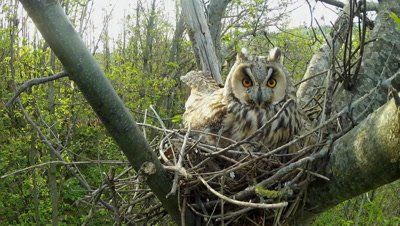 Long Eared Owl, female parent in the nest in daylight time